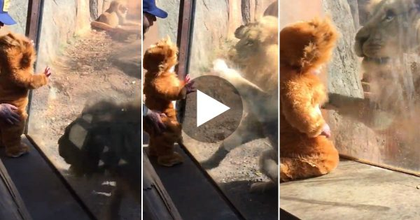Baby Visits Zoo Dressed As a Lion Cub. Now Watch When The Lion Sees Him.. I Didn't See THIS Coming!