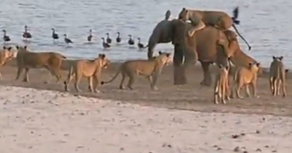Baby Elephant Is Suddenly Surrounded By 14 Hungry Lionesses. The End Has The Internet Cheering