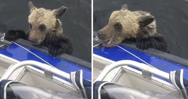 Bear Cub About to Drown Clings into Boat, Then Fishermen Look to The Right and Discover He's Not Alone