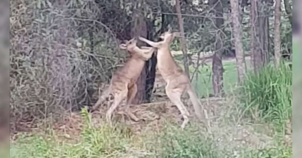 He finds two kangaroos fighting on his property – Their reaction when he tells them to stop will crack you up