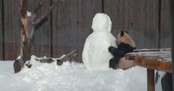 They built snowman inside panda's house. His priceless reaction is lighting up the internet