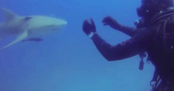 Diver can't understand shark's weird behavior, Then he looks at belly and realizes scary truth
