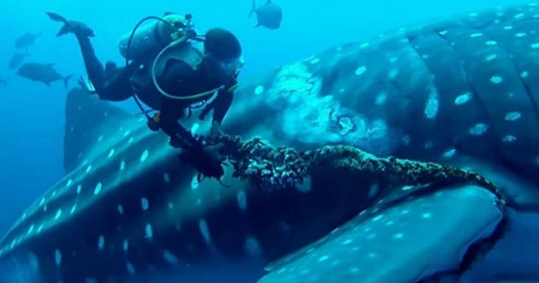 Diver spots gigantic whale shark trapped in fishing rope – pulls out knife and immediately leaps into action