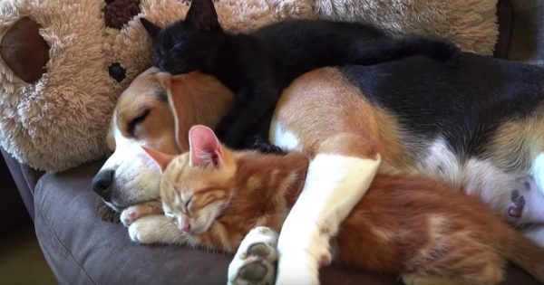 Beagle Never Birthed Any Pups, But She Nurses Kittens Like They're Her Own Babies