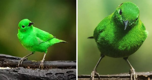 The Glistening-Green Tanager Is So Bright It Looks Like It Can Glow In The Dark.