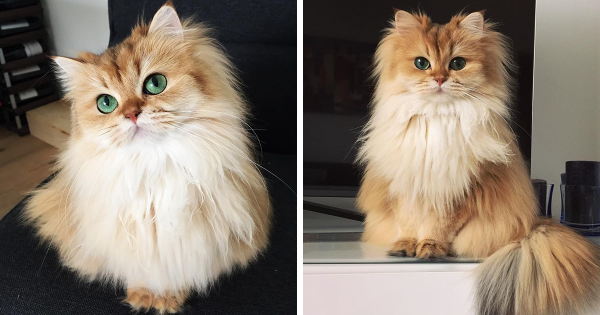 Beautiful British Longhair Cat named Smoothie