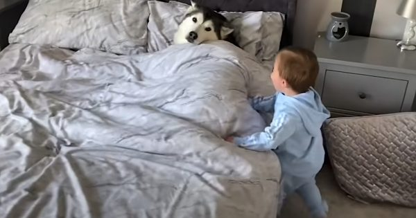 Stubborn Husky Refuses To Get Out Of Bed, Falls Asleep Cuddling Toddler