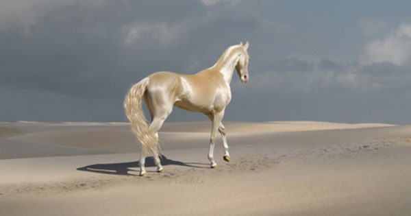 "The Rare Animal Is Called ""The Most Beautiful Horse In The World."""